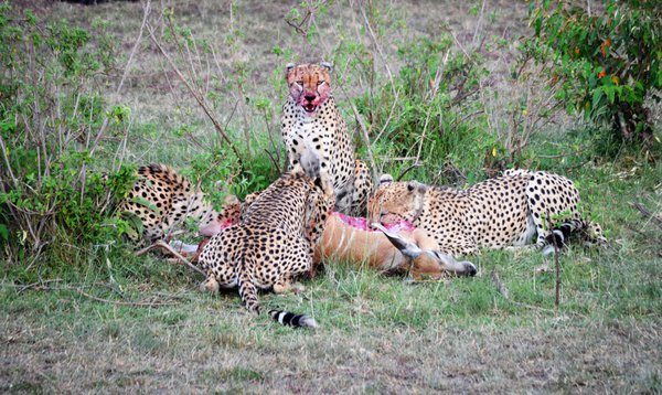 A family of cheetah feast.  thumbnail