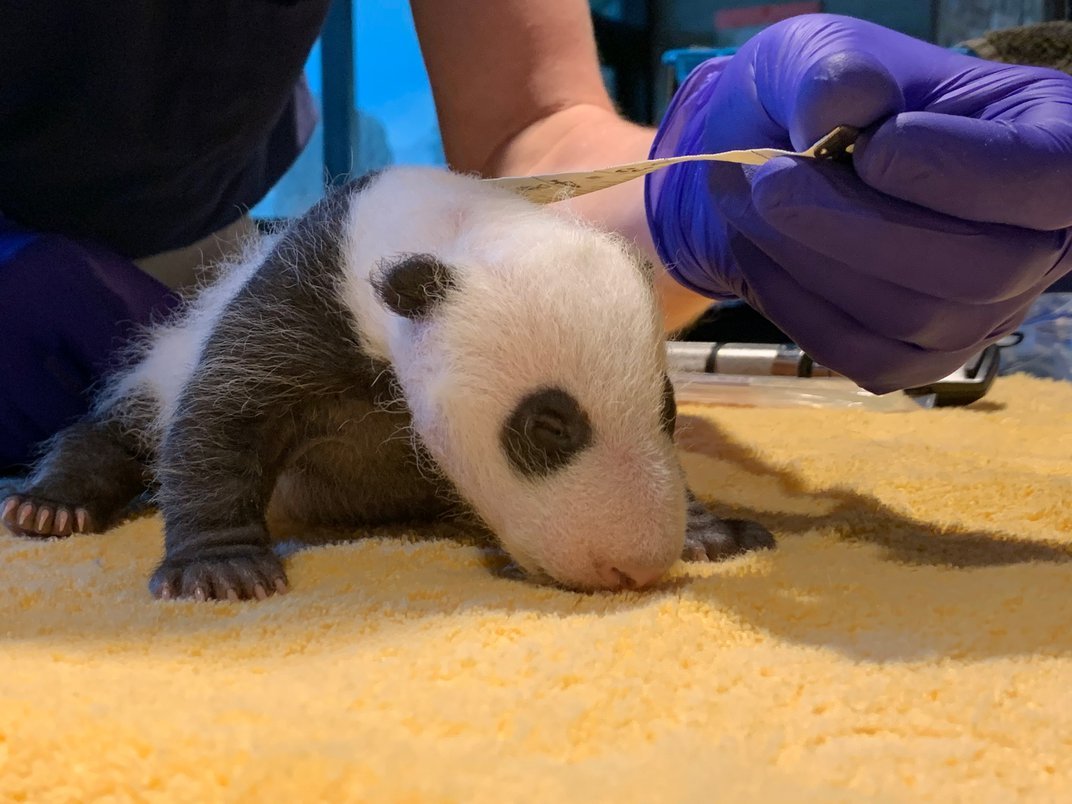 A 1-month-old giant panda cub rests on a yellow towel as veterinarians use a measuring tape to measure its length.