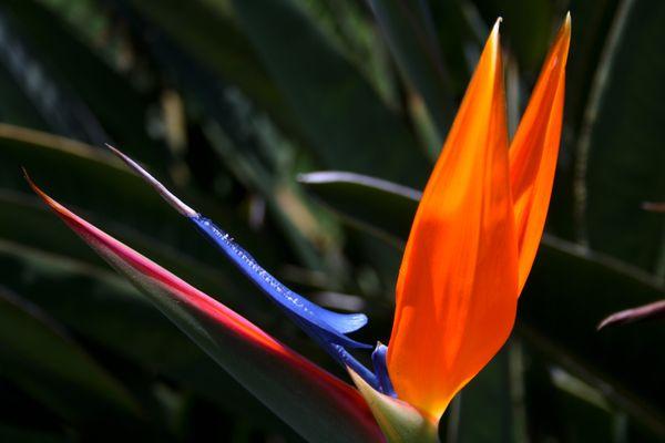 California's Bird of Paradise thumbnail