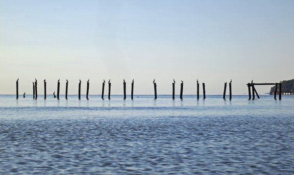 Birds Resting on Posts in the Chesapeake Bay thumbnail