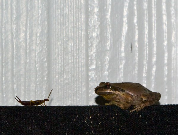 A face off between a tree frog and an earwig. thumbnail