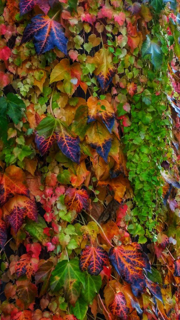 Rainbow Ivy  thumbnail