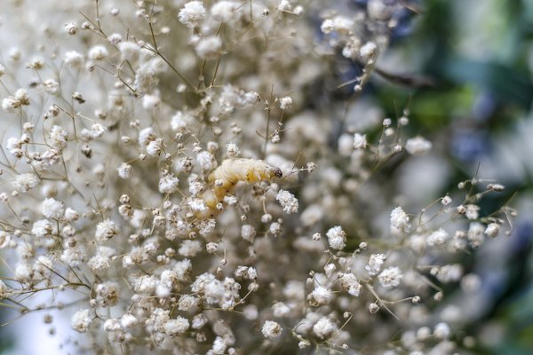 Spring Silkworm thumbnail