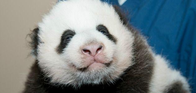 Panda-cub-new-1-631.jpg