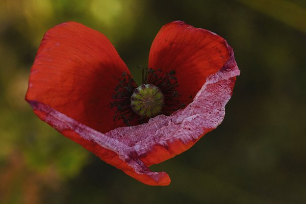 heart of a poppy thumbnail