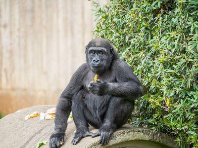 Western lowland gorilla Moke eating a snack
