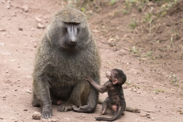 Father and Son Baboon thumbnail