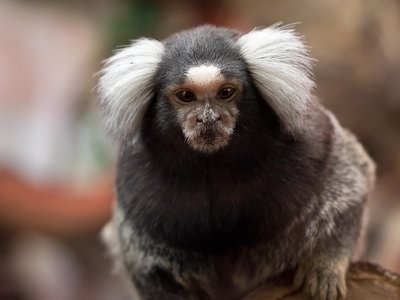 A gene unique to humans increased brain size in common marmosets.