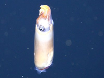A still from the first ever video of a live ram's head squid in the wild.