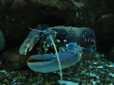 This European lobster (Homarus gammarus) can live at least 50 years in the wild.