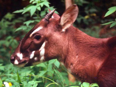 Pseudoryx nghetinhensis Saola (aka Vu Quang ox) 4 - 5 month old female at the Forest Inventory & Planning Institute Botanical Garden. Hanoi, Vietnam