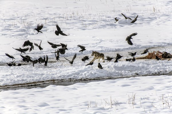 Wolf Chasing Ravens thumbnail