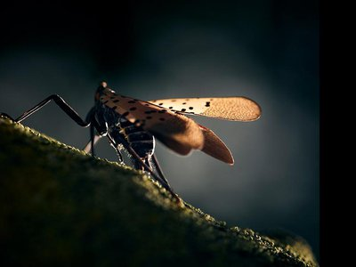 The spotted lanternfly has landed. This adult was seen in Pennsylvania, hard hit by the alien species.