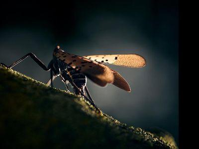 spotted lanternfly on a stick