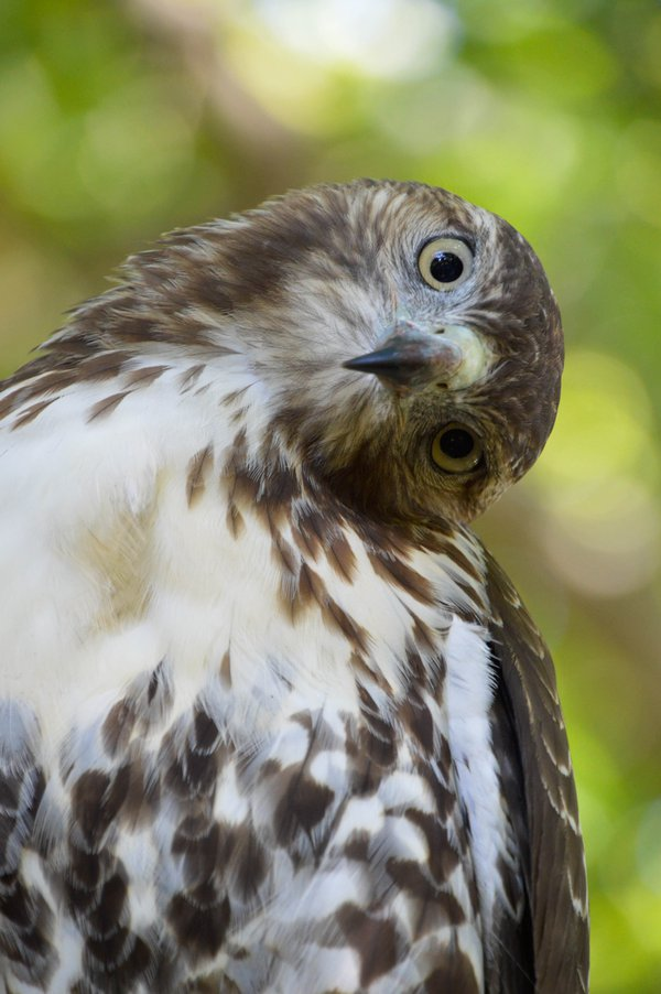 Red-Tailed Hawk thumbnail