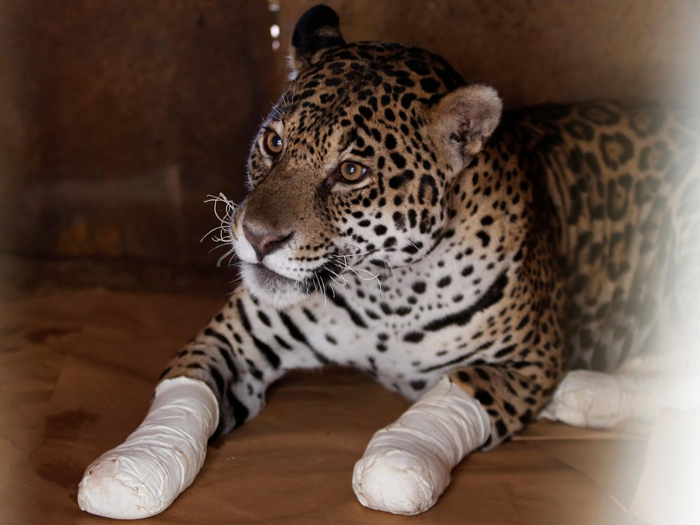 Wounded leopard after treatment at an animal protection center in Goias State of Brazil