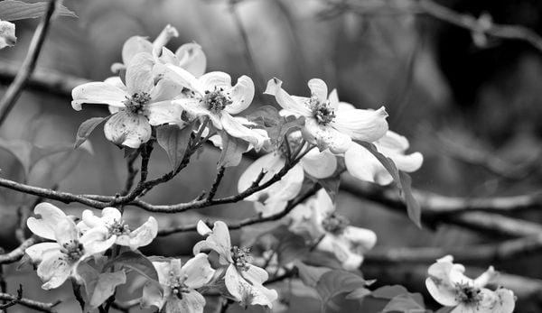 Dogwood in bloom thumbnail