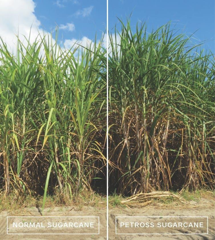 Can Sugarcane Fuel Airplanes?