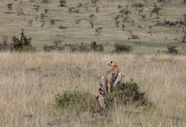 Cheetah Family at Hillside thumbnail
