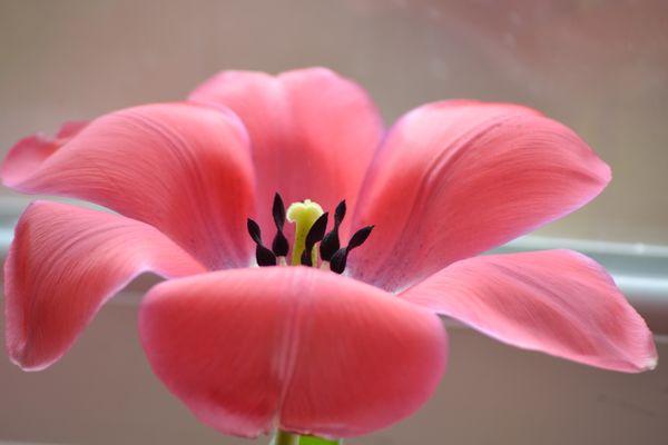 Blooming Tulip thumbnail