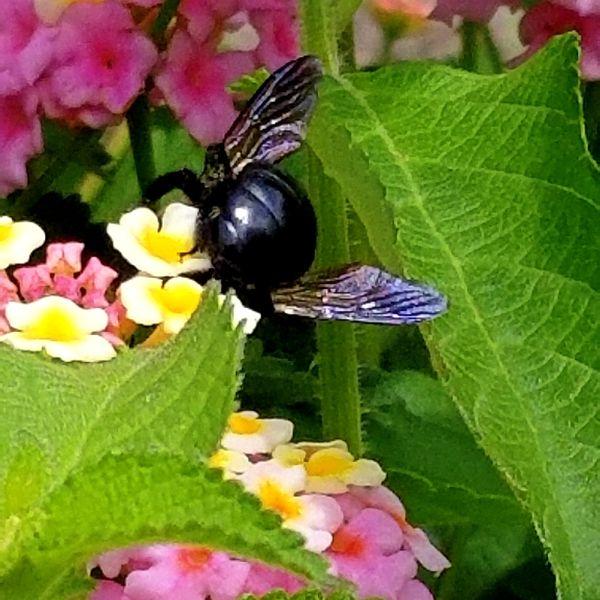 Bee in the Lantana thumbnail