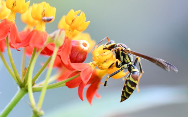 Paper wasp on tropical milkweed thumbnail