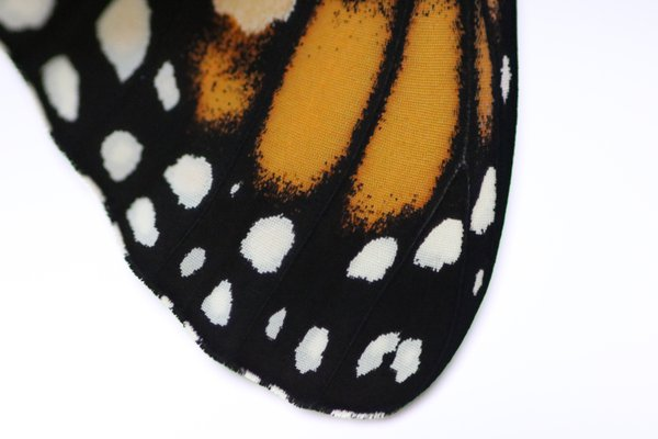 Close-up of a Monarch Butterfly Wing thumbnail