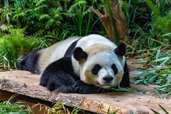 Giant Panda  thumbnail
