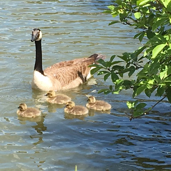 Canadian Geese thumbnail