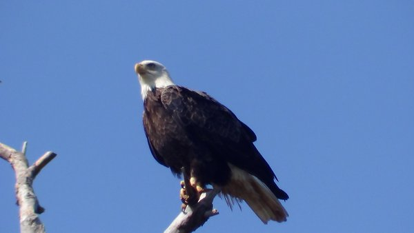 Eagle hunting  thumbnail