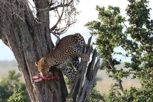 Leopard with kill, Masai Mara, Kenya, Africa thumbnail