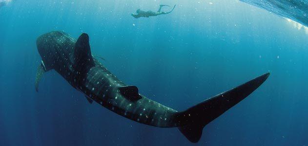 whale_sharks_mar08_631.jpg