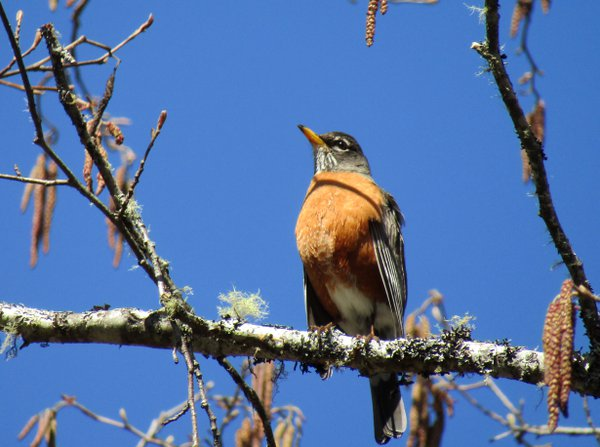 A Robin basking in the sun.  thumbnail