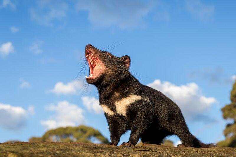 A Tasmanian devil screams