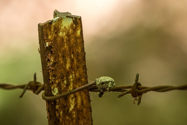 A Lonely Cope's Gray Tree Frog.  thumbnail