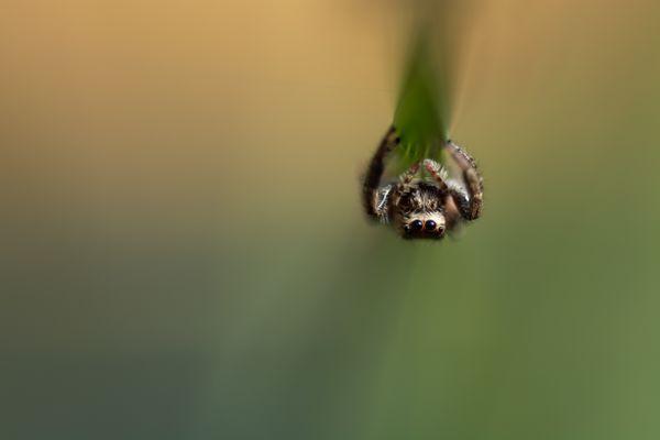 Perching Jumping Spider  thumbnail