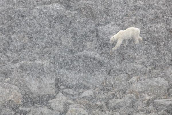 Polar bear walking in a snowy day - Svalbard thumbnail