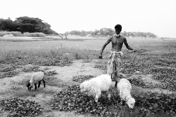 Shepherd in Bangladesh thumbnail