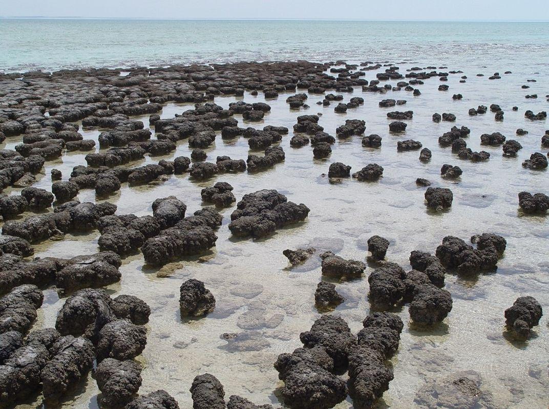 Dark, rock-like stromatolites in shallow water