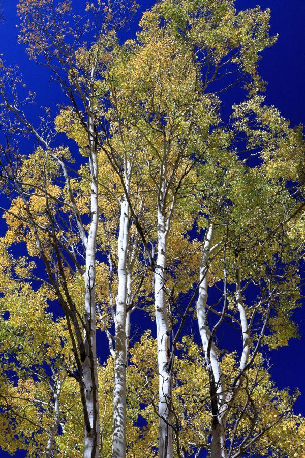 Aspen trees under blue sky thumbnail
