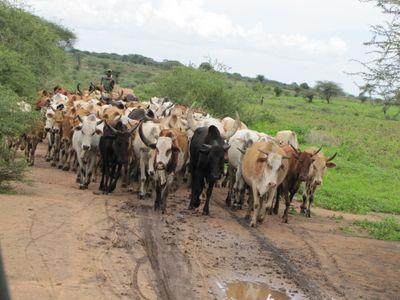 A pastoral cattle herder in near the Meatu district in Tanzania.