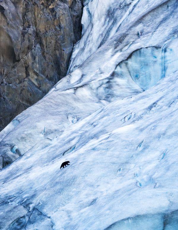 Black bear on Exit Glacier thumbnail