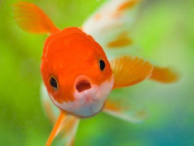 Pet goldfish in a tank, where it belongs