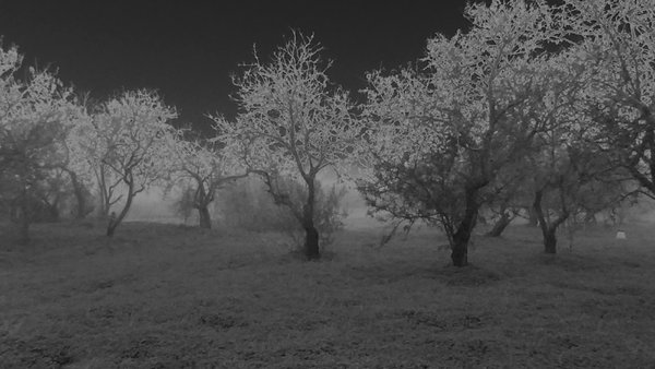 almond orchard in mist solorized thumbnail