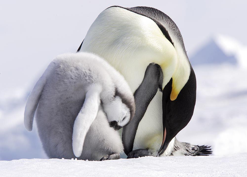 Emperor penguins preening