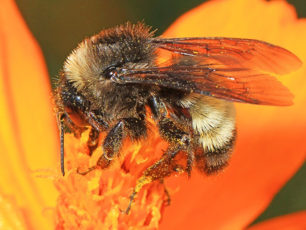 A close up image of an American bumblebee pollinating an orange flower