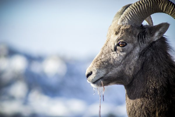 Into the Badlands - A Longhorn Sheep in South Dakota thumbnail