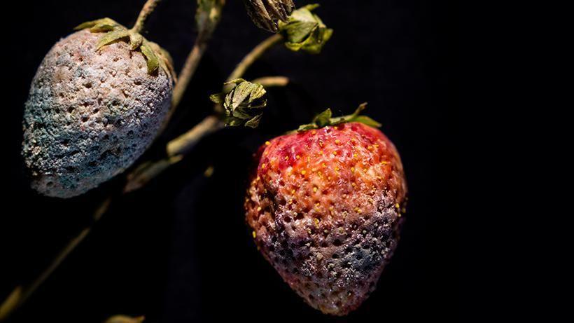 strawberry_with_penicillium_sp._mold_fragaria_sp._model_791_rudolf_blaschka_1929.jpg