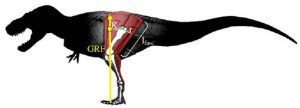 20110520083155tyrannosaurus-measurement-300x108.jpg