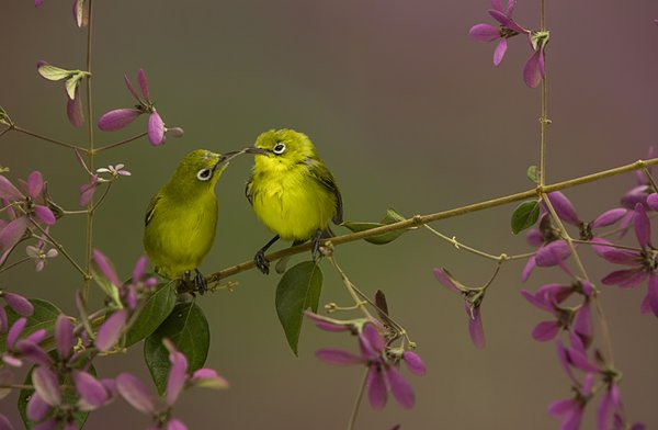 Bird's kiss thumbnail
